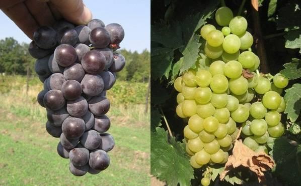 Виноград триумф: описание сорта с фото, отзывы, посадка и уход