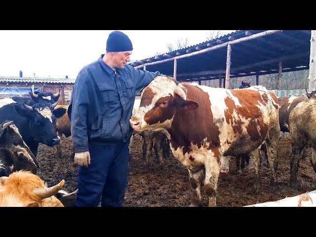 Бык-осеменитель (производитель). содержание и кормление племенных быков