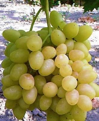 Виноград надежда (азос, аксайская, ранняя): описание сортов, фото, отзывы