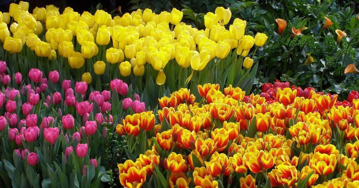 Пересадка тюльпанов весной и осенью, хранение луковиц и подготовка почвы