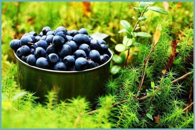 Черника садовая: посадка и уход в открытом грунте, фото сортов для подмосковья, размножение, выращивание и сочетание