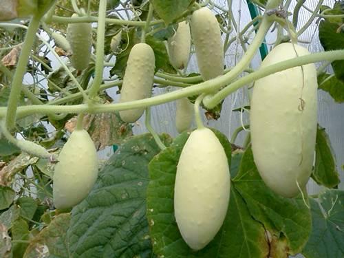 Белые огурцы: 8 сортов с описанием, фото и отзывами - растения и огород