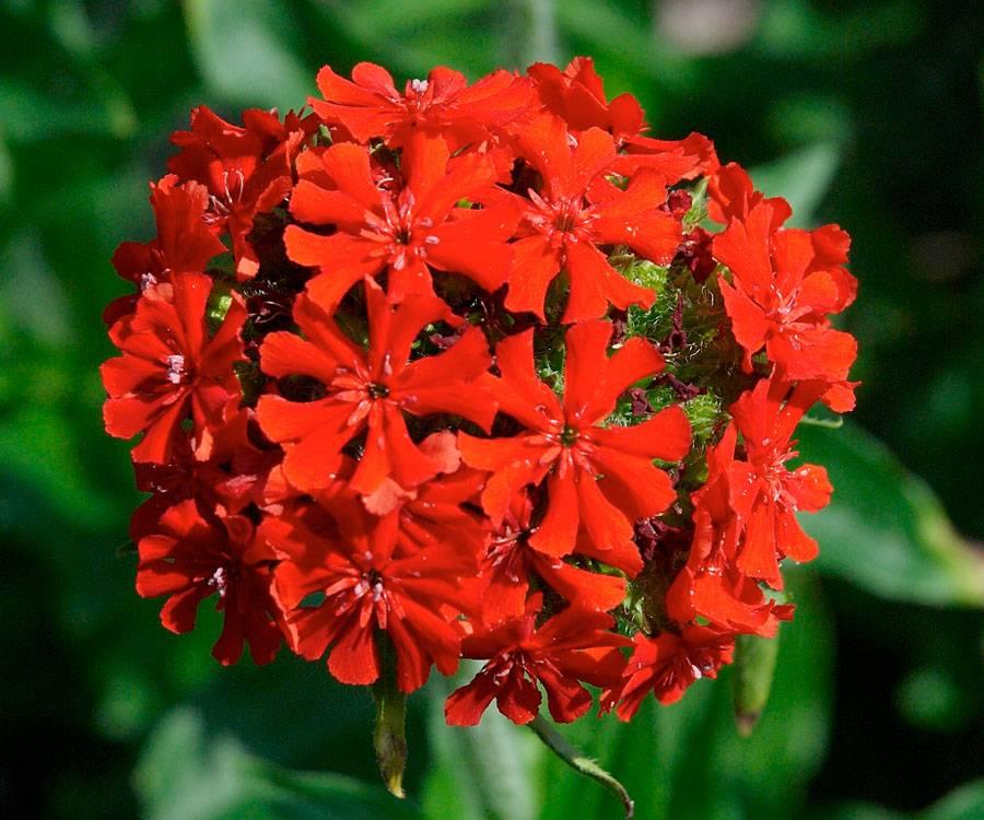Вискария: выращивание, посадка и уход за цветком