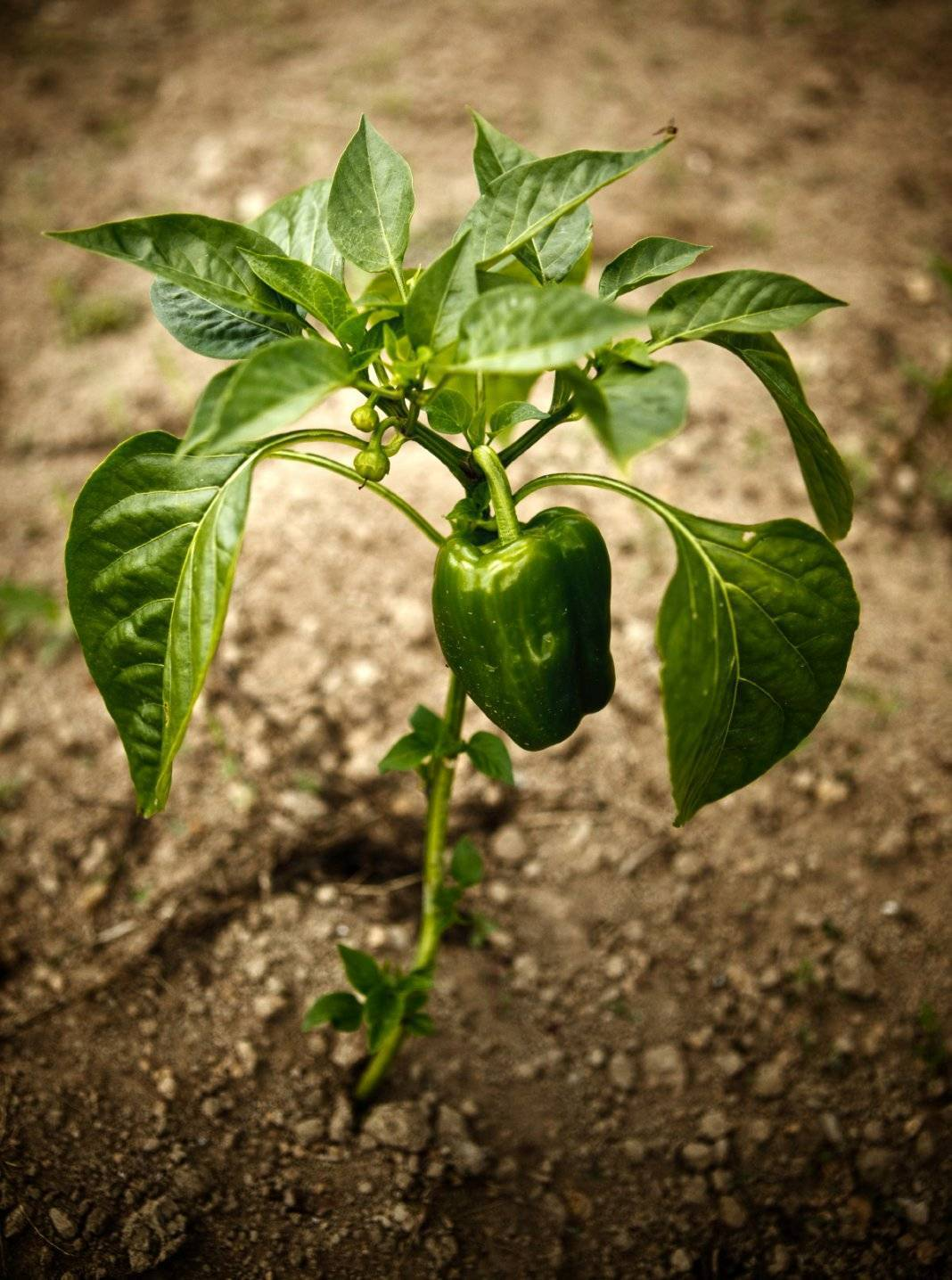 Как правильно прищипывать перец в рассаде: советы и рекомендации