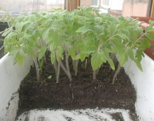 При какой температуре можно высаживать помидоры - мое село