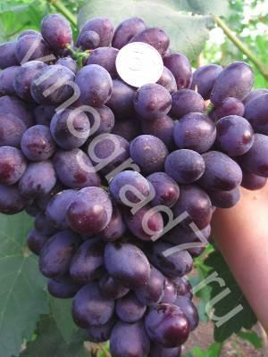 Описание и характеристики сорта винограда каталония, плодоношение и правила выращивания