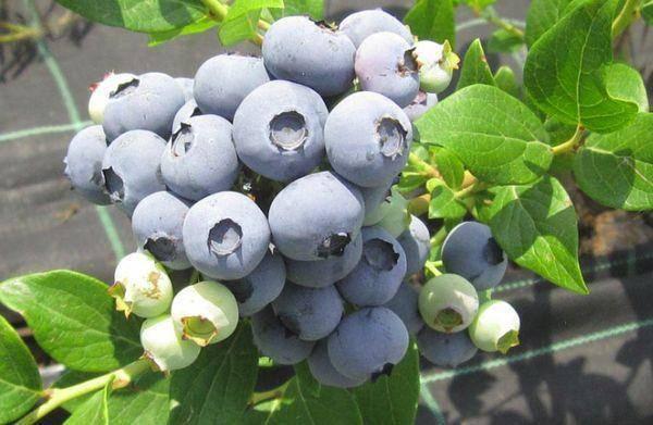 Голубика - сорта, уход и выращивание (фото)