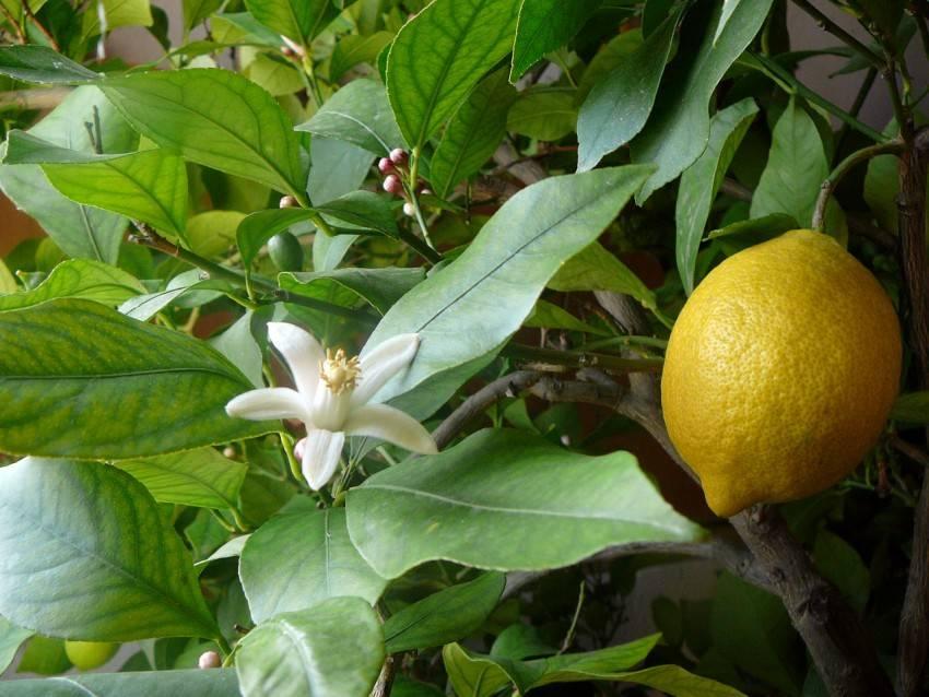 Укоренение черенков лимона в домашних условиях