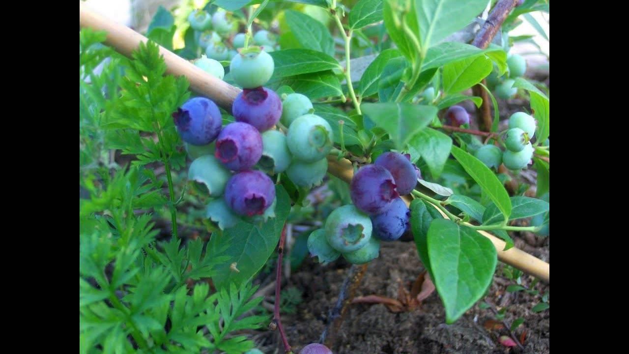 Черника садовая: посадка и уход на приусадебных участках