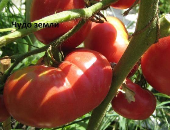 Сорт томатов чудо земли: описание, внешний вид, вкусовые качества
