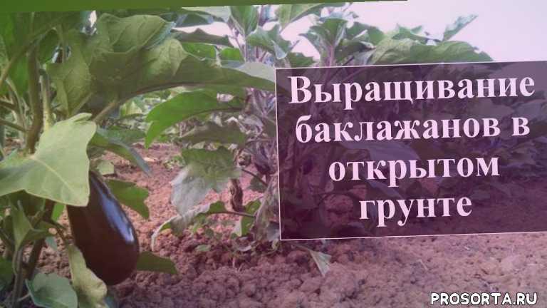 Рассада баклажанов: сроки посева, выращивание и уход