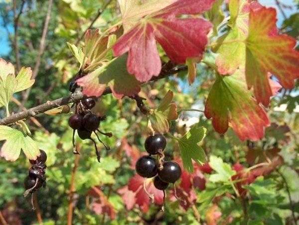 Уход за смородиной осенью: подготовка к зиме, обрезка, удобрения