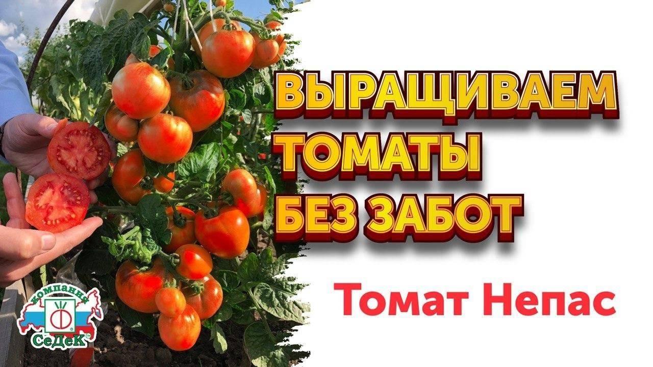 Декоративный куст с маленькими плодами — томат непас 11 непасынкующийся комнатный: описание сорта