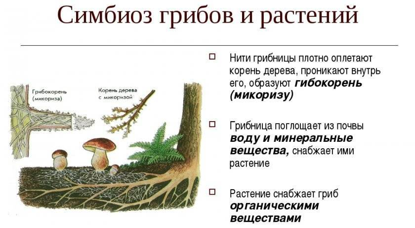 Симбиоз | справочник по защите растений — agroxxi