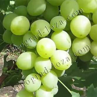 Виноград продюсер: описание сорта, фото, отзывы