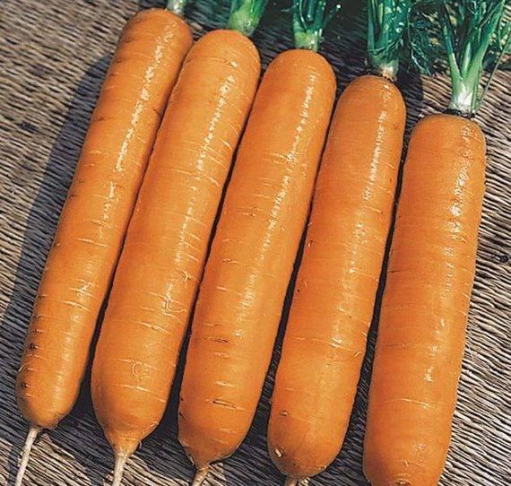 Характеристика и описание томата пинк самсон f1, выращивание и правила посадки. морковь «самсон»: описание сорта, фото и отзывы