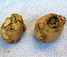 Рак картофеля: признаки, лечение и профилактика + фото