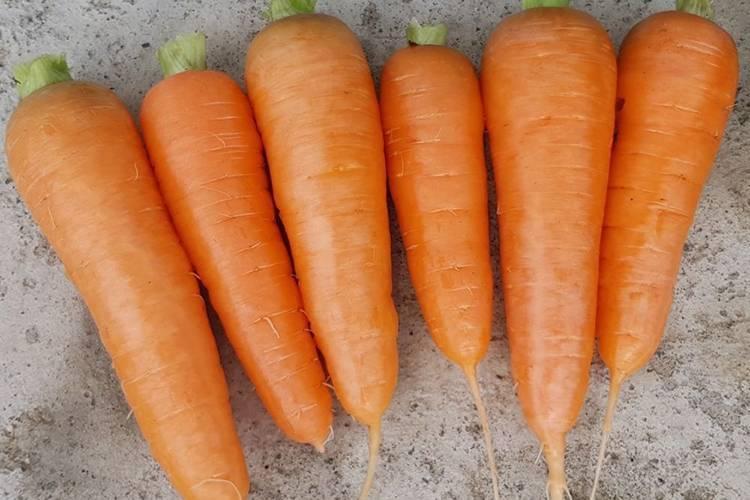 Когда и как садить морковь в сибири, посадка моркови весной и осенью