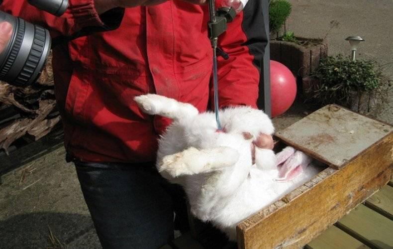 Искусственное осеменение кроликов в домашних условиях — детальная инструкция