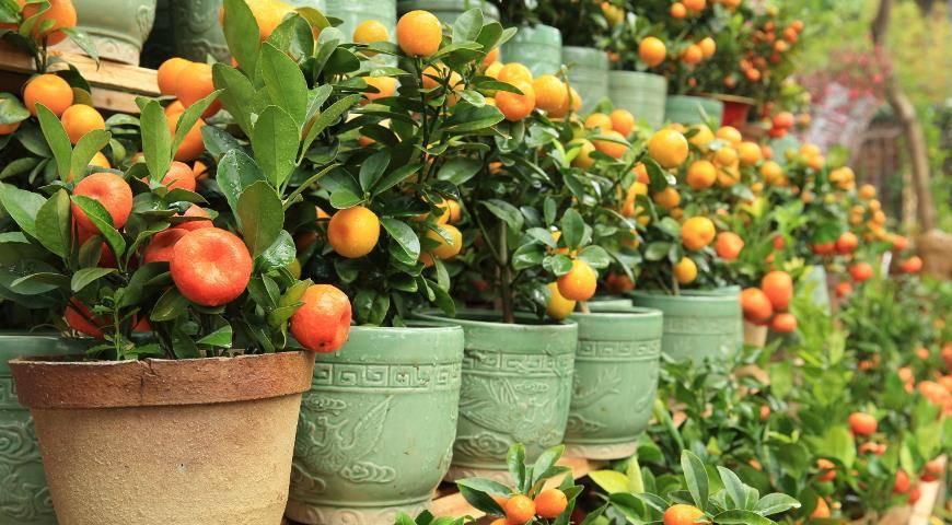 Цитрусовые комнатные растения: уход в домашних условиях, виды с фото и названиями