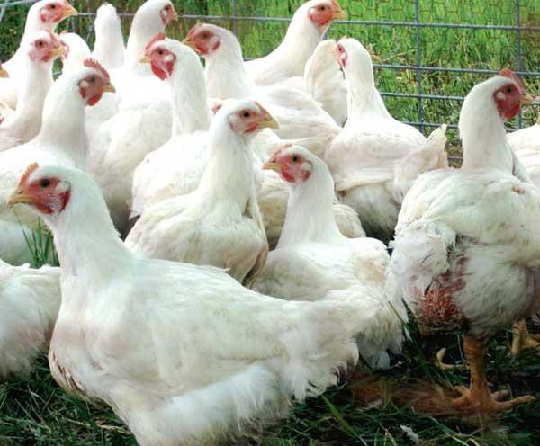 Лучшие породы бройлеров на мясо в домашних условиях какие породы лучше выращивать на личных подворьях