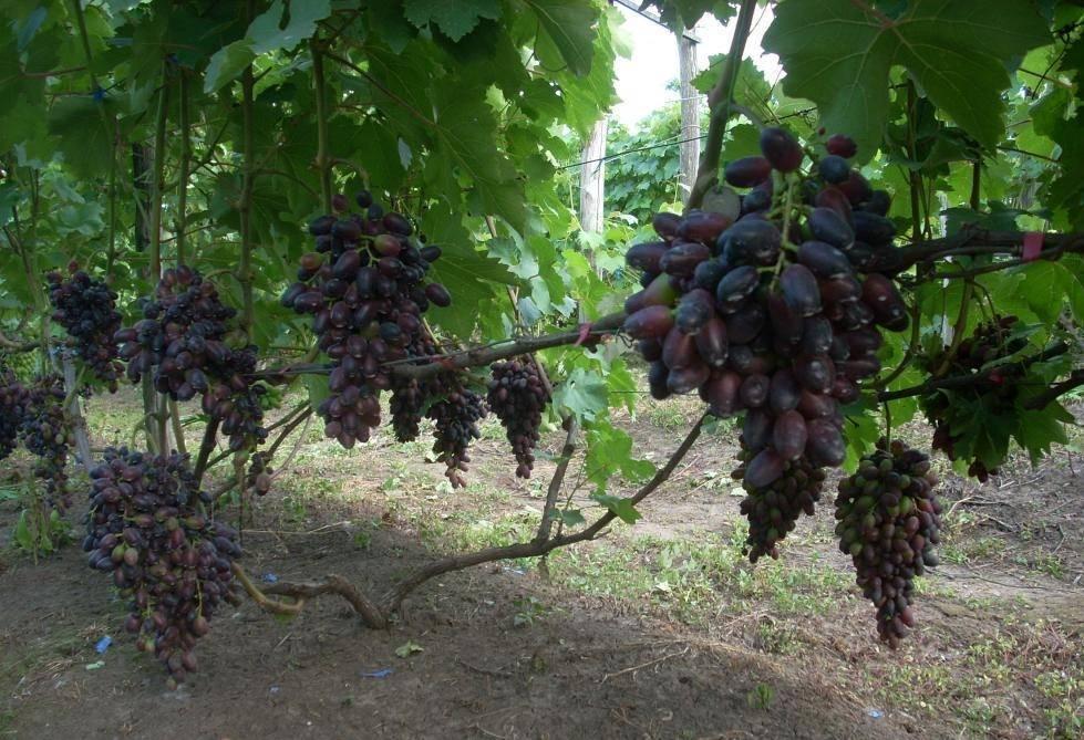 Виноград «атос» характеристика сорта, описание особенностей плодов и лозы, отзывы и фото
