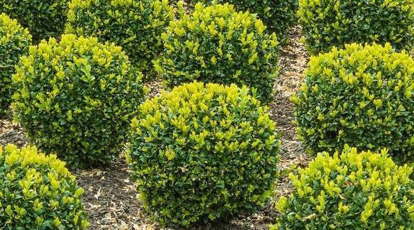 Колхидский самшит (buxus colchica): где растет, как выглядит, условия выращивания