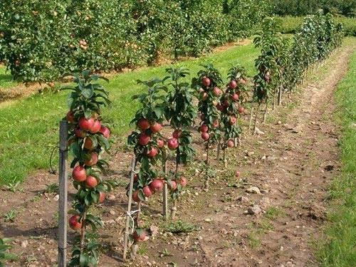 Яблони-карлики: фото лучших сортов карликовых яблонь, видео обрезки деревьев, посадка и уход