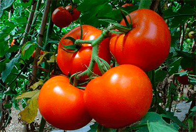 Томат белый налив: отзывы, урожайность сорта, описание + фото