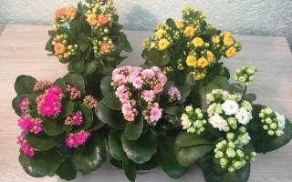Каланхоэ каландива: уход в домашних условиях, фото, лечебные свойства, размножение