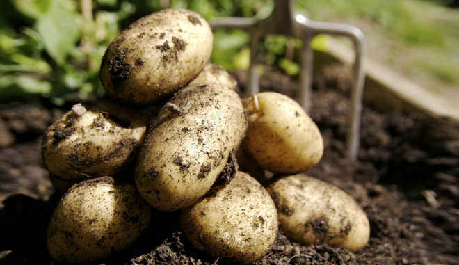 Картофель «кемеровчанин»  (8 фото): характеристика и описание кемеровского сорта, отзывы