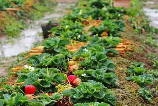 Уход за клубникой весной на даче: что делать после зимы, чтобы был хороший урожай