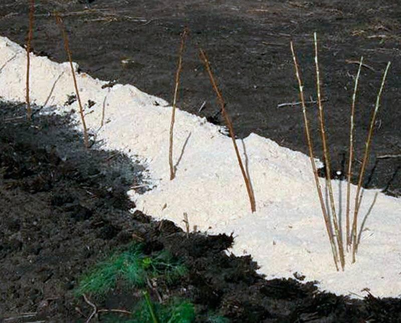 Малиновое дерево: выращивание и размножение штамбовой малины