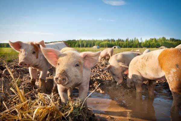 Премиксы для свиней: виды, состав, отзывы