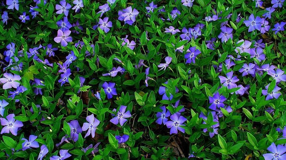 Цветок барвинок – посадка и уход, выращивание в открытом грунте
