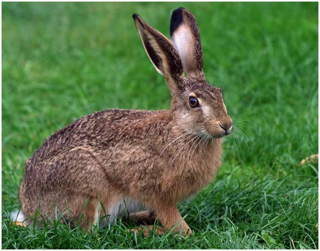 Размножение зайцев дома - люблю хомяков