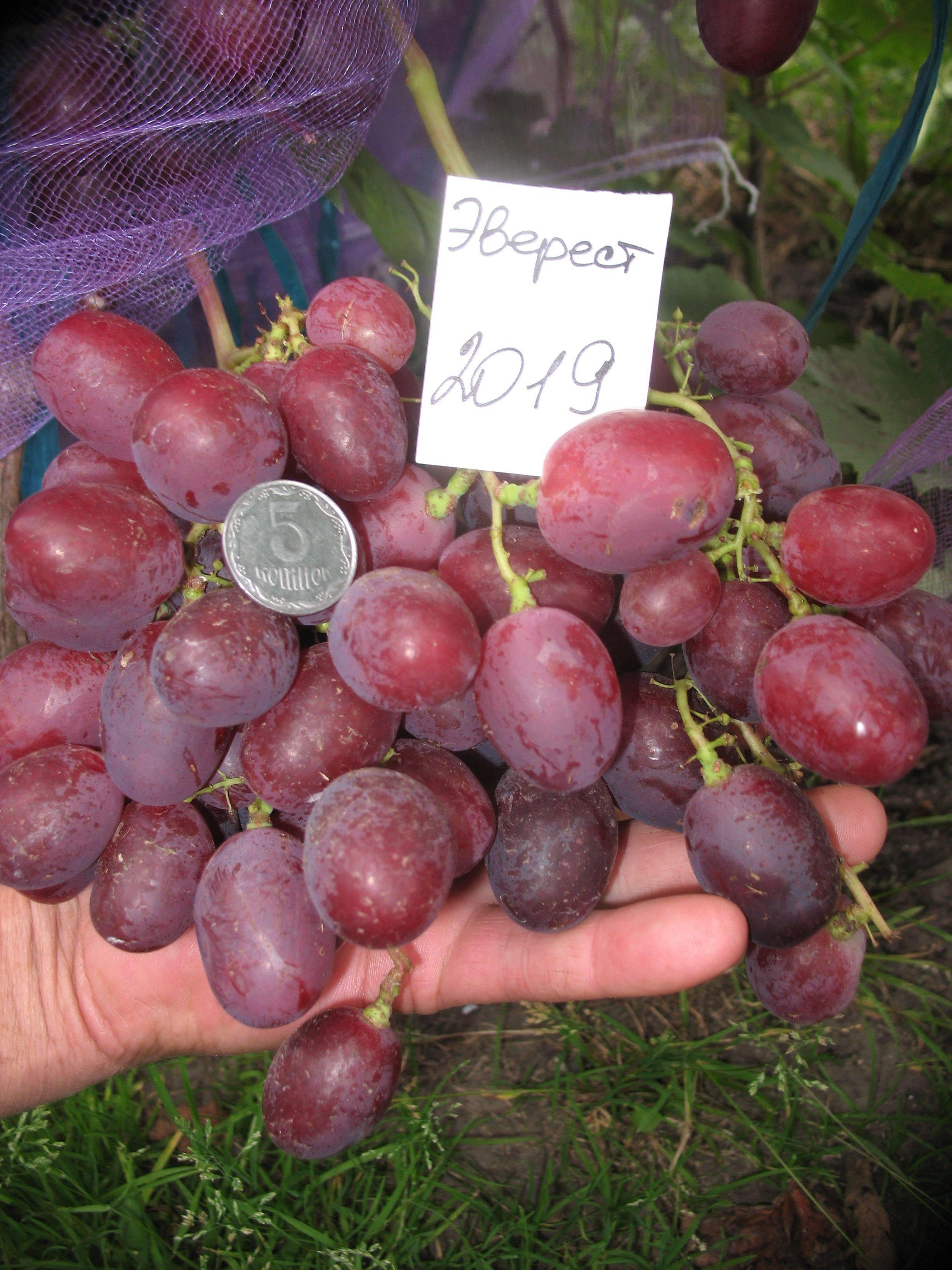Виноград эверест: описание, фото и отзывы