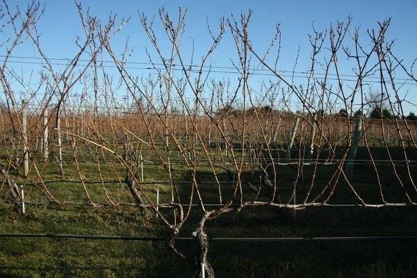 Формирование куста винограда — схемы и формы для начинающих