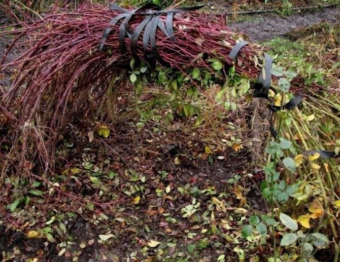 Как обрезать вьющуюся розу на зиму: подготовка к укрытию