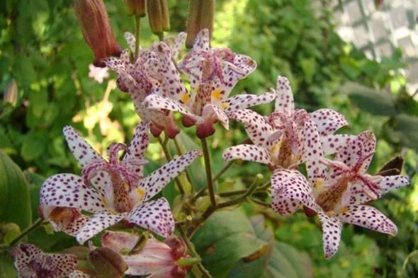 Цветок трициртис: посадка и уход