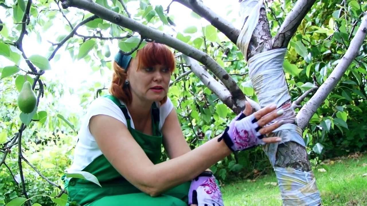 Почему чернеют плоды груши на дереве: меры борьбы и профилактики