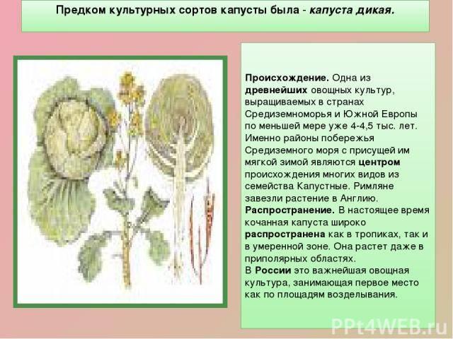 Энциклопедия капусты