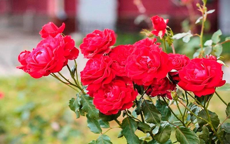 Обработка роз железным купоросом весной, осенью (пропорции, концентрация)
