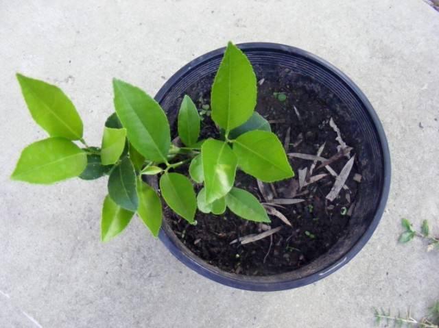 Домашний лимон, уход в домашних условиях: выращивание из косточки