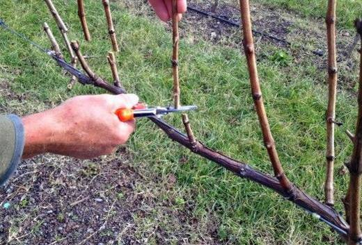 Виноград изабелла - посадка и уход за сортом