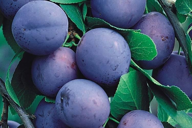 Слива яичная синяя: описание сорта, фото, посадка и уход