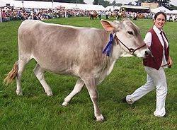Порода коров монбельярд