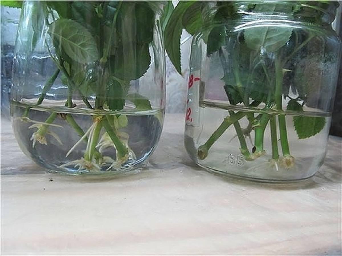 Размножение роз черенками весной и осенью в домашних условиях