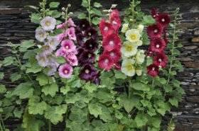 Фиалка лесная — описание и особенности выращивания в саду
