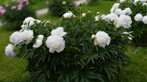 Пион фестива максима: особенности посадки и выращивания